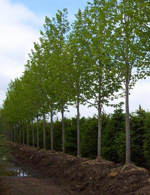 Hartman Garden Center Trees and Shrubs